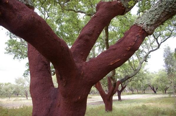 árvore de cortiça