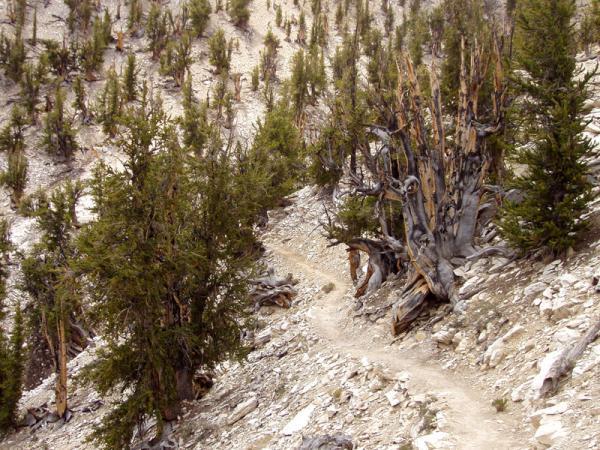 árvores mais antigas do planeta, árvores, matuzalém,