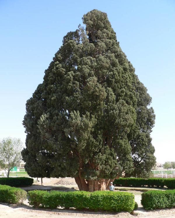 árvores mais antigas do planeta, árvores, Sarv-e-Abarkooh