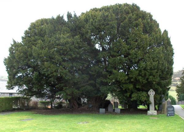 árvores mais antigas do planeta, árvores, Llangernyw Yew