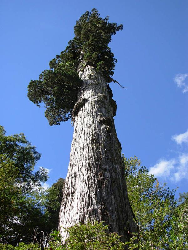 árvores mais antigas do planeta, árvores, Alerce-da-Patagônia