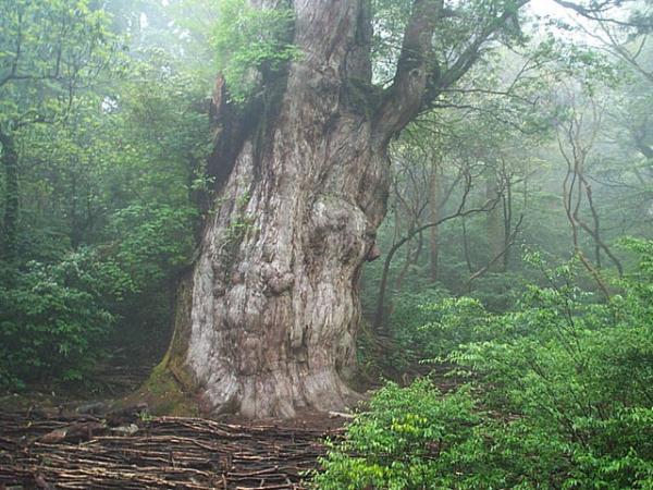 árvores mais antigas do planeta, árvores, Jōmon Sugi