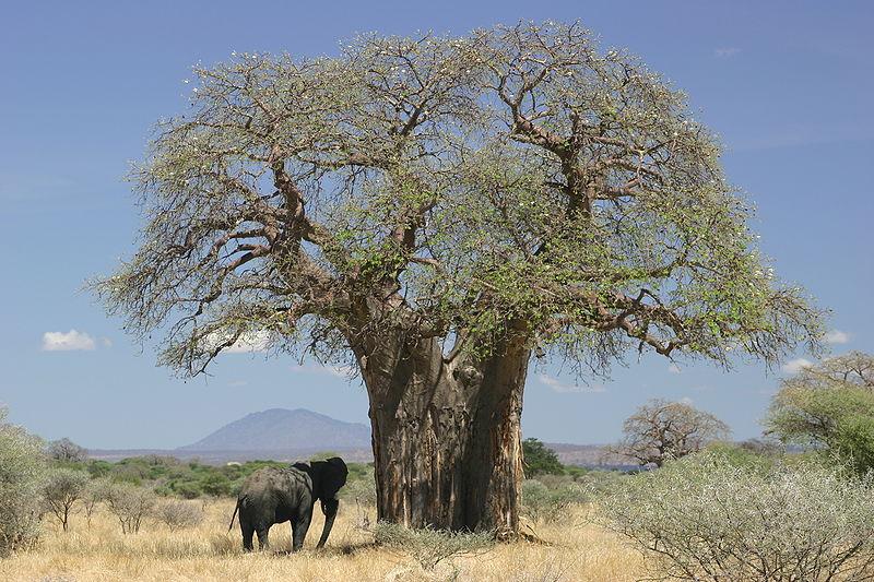 baob por que essas rvores africanas t m troncos t o largos mega curioso. Black Bedroom Furniture Sets. Home Design Ideas