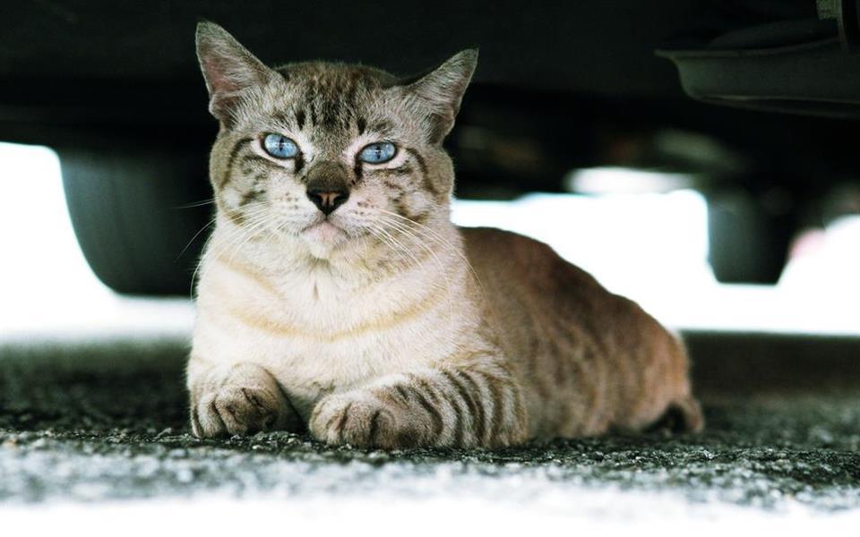 Japão lança campanha para prevenir acidentes com gatos durante o inverno