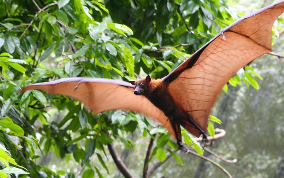 """Espécie de morcego chamada de """"raposa voadora"""" é estudada pela primeira vez"""