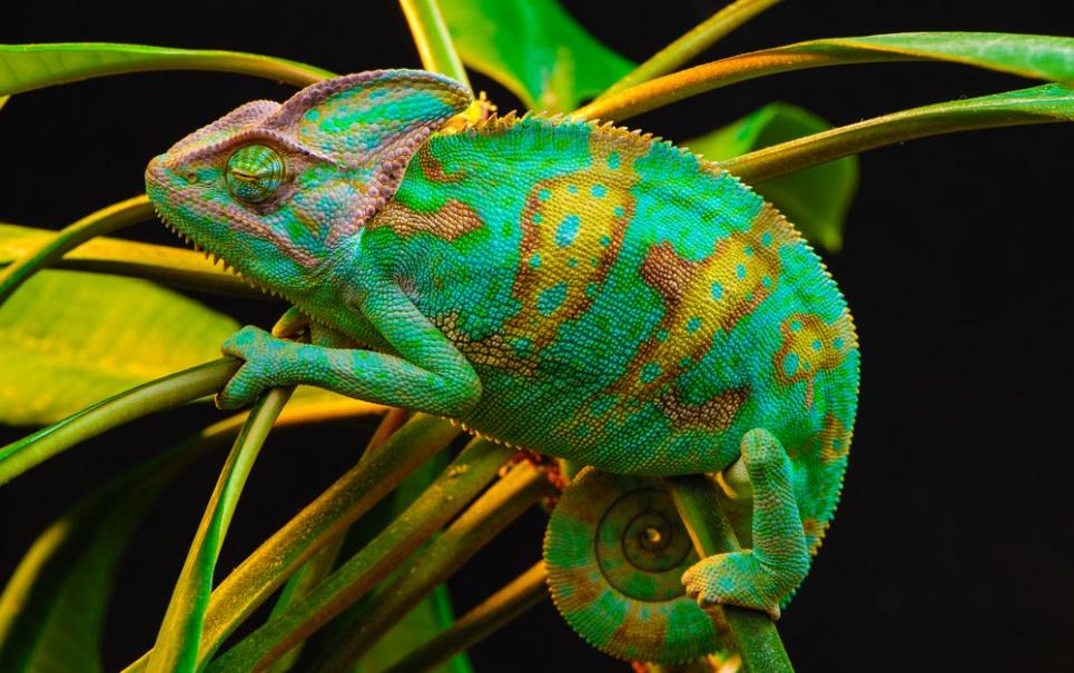 8 curiosidades sobre os camaleões