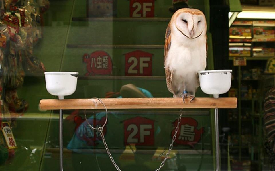 Tendência em alta no Japão: cafés têm corujas para atrair clientes