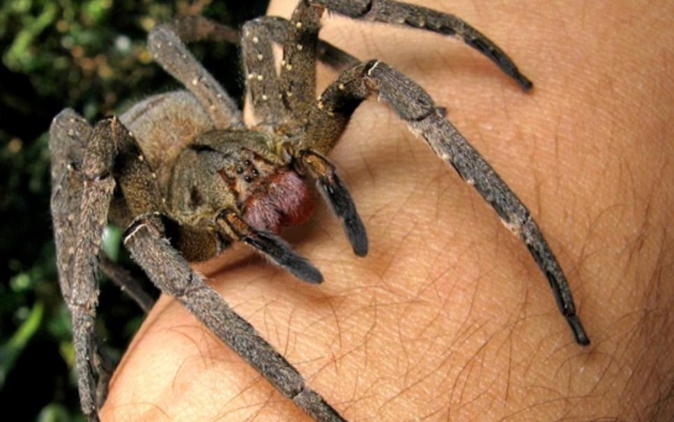 Bananas infestadas com aranhas-armadeiras causam pânico na Inglaterra