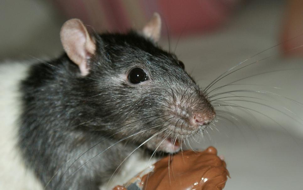 Cientistas batem recorde ao clonar ratinho 580 vezes