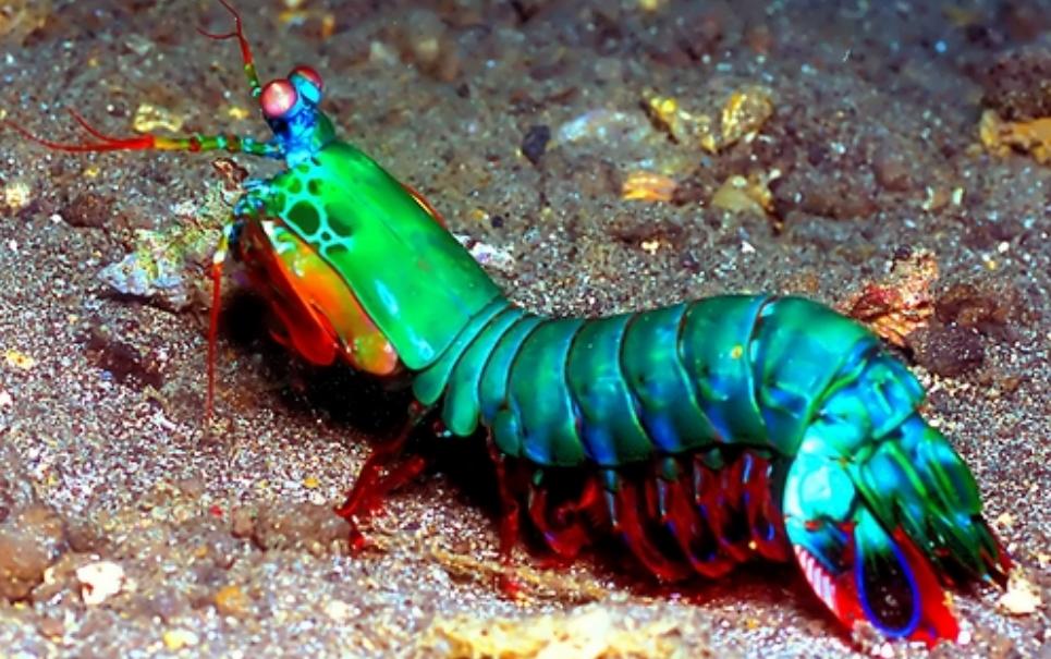 Mantis: conheça a lagosta-boxeadora, o bicho mais desgraçado dos mares!