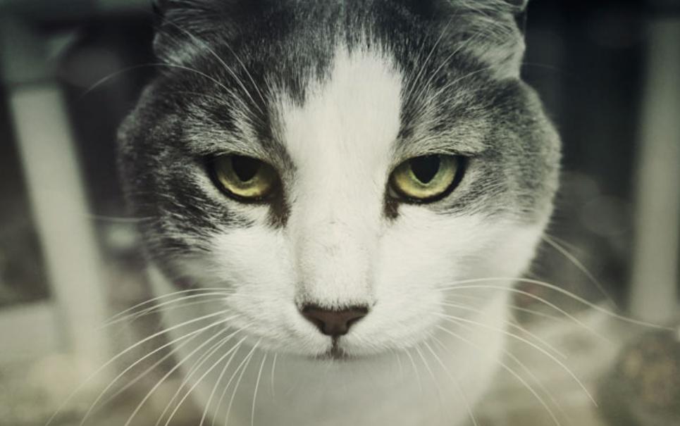 CIA já adestrou gatos para usá-los em serviços de espionagem