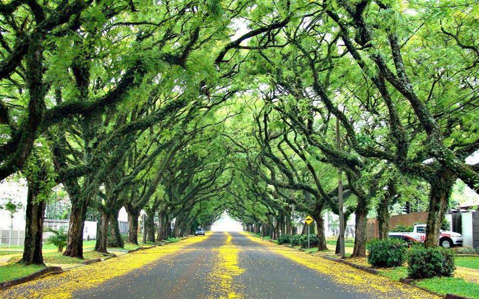 A rua mais bonita do mundo é formada por um túnel de árvores imensas