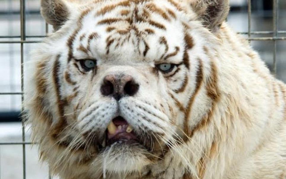 Conheça Kenny, o primeiro tigre albino com síndrome similar à de Down