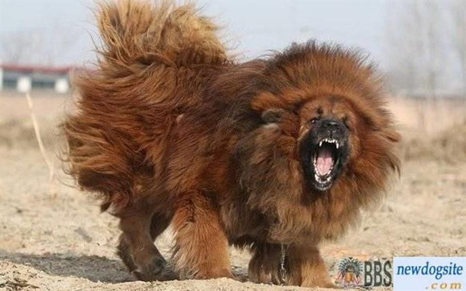 """Zoo chinês """"falsifica"""" leão e exibe cachorro no lugar do Rei da Selva"""
