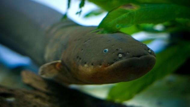 Resultado de imagem para peixe Poraquê (peixe elétrico) na amazonia
