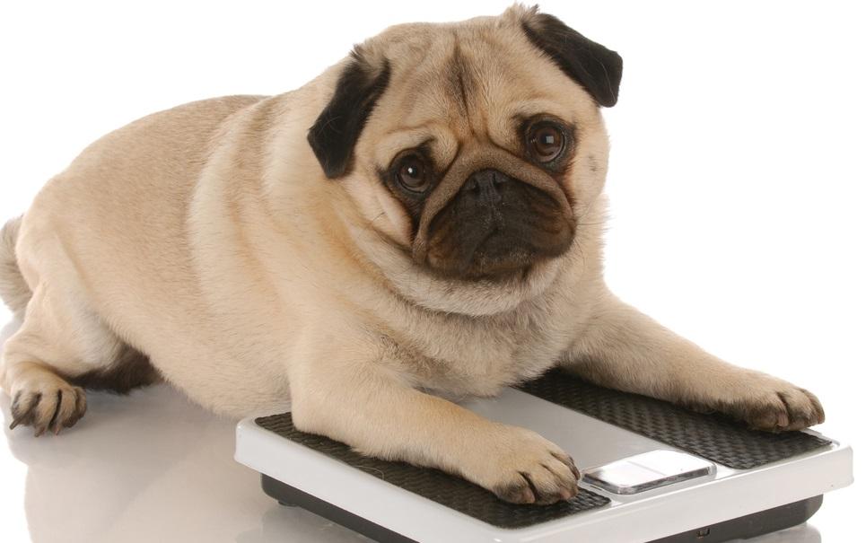 Animais também comem em excesso quando estão deprimidos ou estressados
