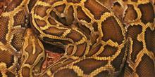 Aterrorizante: maior anaconda j� vista � encontrada em rio brasileiro