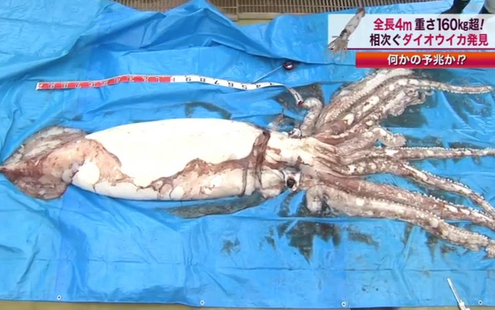 Lula gigante é capturada por pescadores japoneses