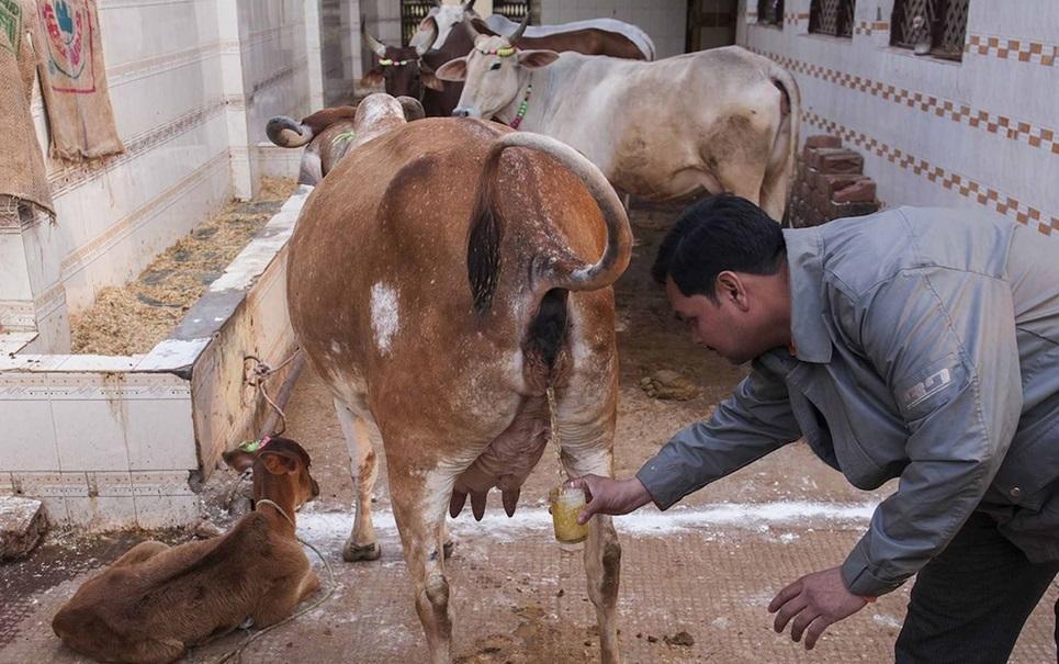 Xixi de vacas virgens: conheça o novo remédio maluco da moda