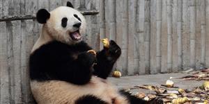 Panda é flagrado em mome