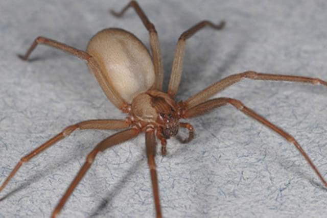 20115108714257 Confira algumas curiosidades sobre a temida aranha marrom Curiosidades Dúvidas Fotografia Prevenções
