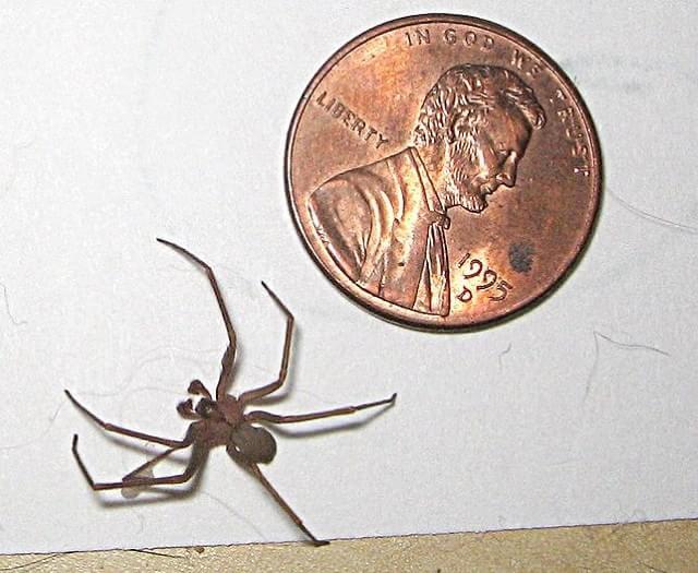 20115216808262 Confira algumas curiosidades sobre a temida aranha marrom Curiosidades Dúvidas Fotografia Prevenções