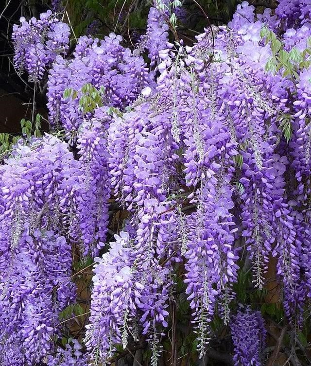 plantas de jardins tipos : plantas de jardins tipos:esta bela planta conta com flores brancas azuis ou rosas que caem