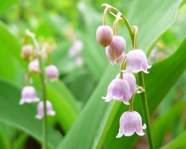 Lírio Do Vale Poderia Ser Letal Pois Esta Planta Com Flores Cheirosas~ Plantas Cheirosas Jardim