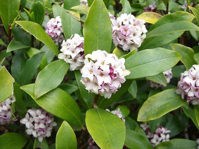 plantas toxicas jardim: na europa esta planta conta com belíssimas flores perfumadas