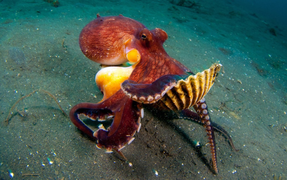 Impressionante! Conheça dois polvos que conseguem correr no fundo do mar