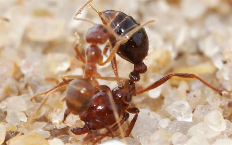Formiga brasileira pode ser o primeiro inseto capaz neutralizar veneno