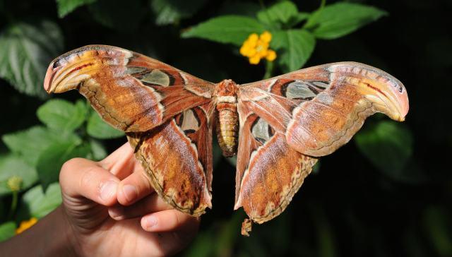 Macho da mariposa-atlas pode sentir o cheiro da fêmea a 10 km de distância.