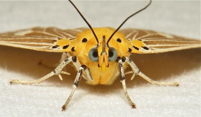 Algumas mariposas não possuem nem mesmo bocas.