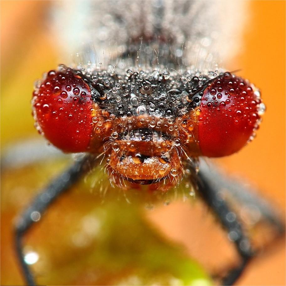 Outra libélula gozando do orvalho da manhã.