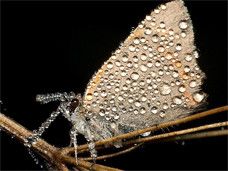 Esta mariposa parece ter diamantes encrustados em suas asas.