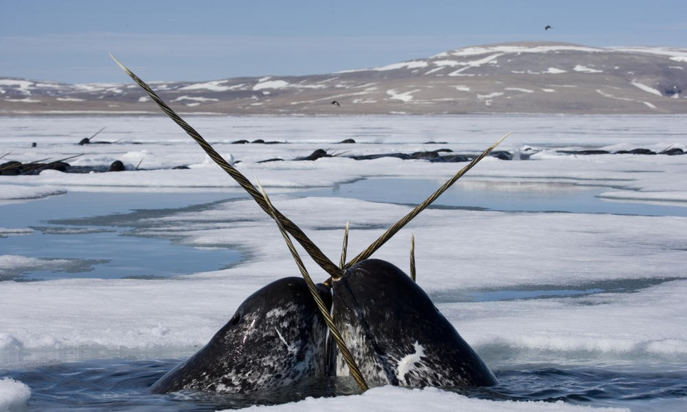 Conheça o narval, o unicórnio marinho que corre risco de extinção