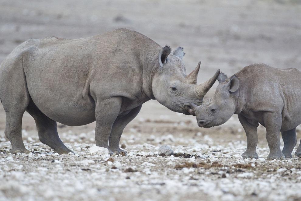 Devastador: 8 rinocerontes morrem em iniciativa focada em salvar suas vidas