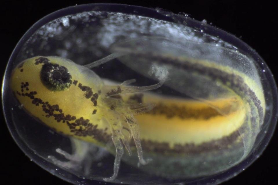 Veja um anfibio se transformar de célula a organismo completo em 6 minutos