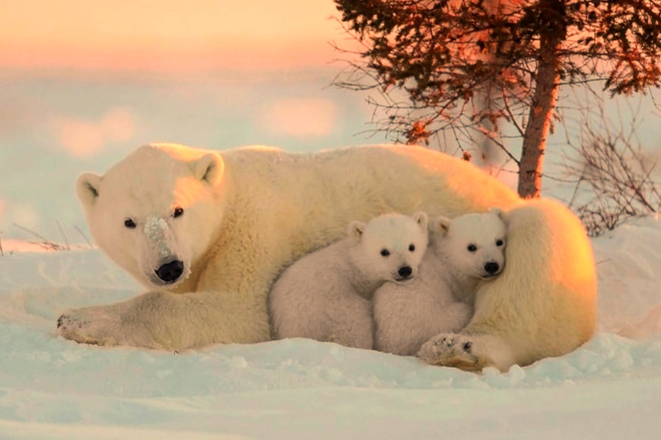Cidade russa declara estado de emergência após invasão de 50 ursos polares