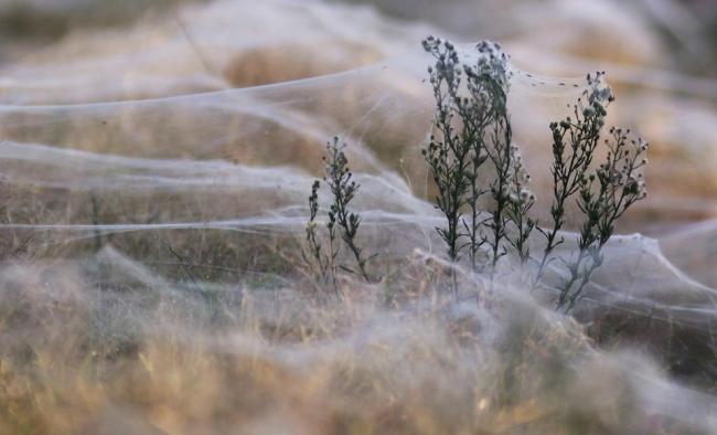 Assustador: floresta de teia de aranha na Austrália