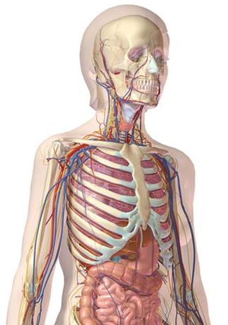 Modelo do Visible Body