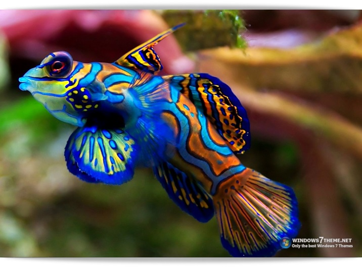Coral Fish Windows 7 Theme - Imagem 1 do software