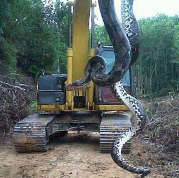Será verdadeira? Imagem de cobra gigante roda o mundo ...