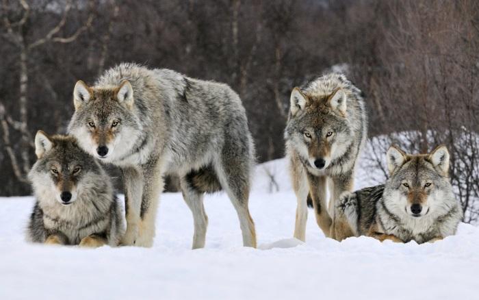 matilha lobos