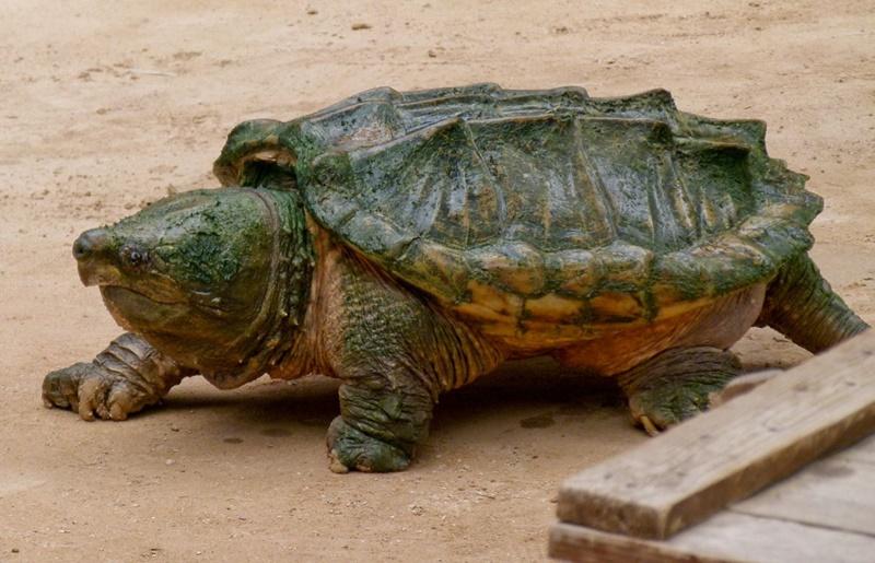 Pequeno manual das tartarugas: 13 fatos incríveis e 9 ...