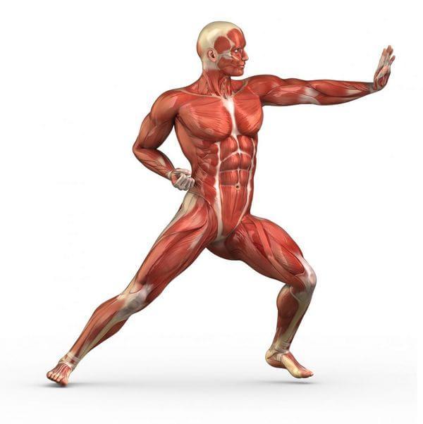Confira Alguns Fatos E Curiosidades Sobre O Sistema Muscular