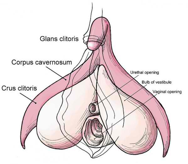 Crus of clitoris