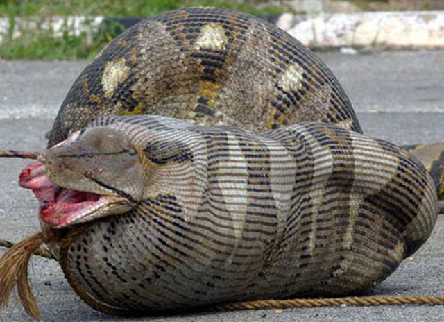 Cobras que se deram mal por terem a boca maior do que o estômago  - Imagem 1
