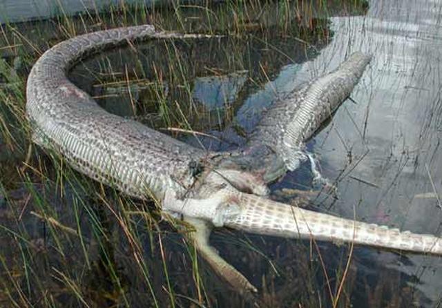Cobras que se deram mal por terem a boca maior do que o estômago  - Imagem 2