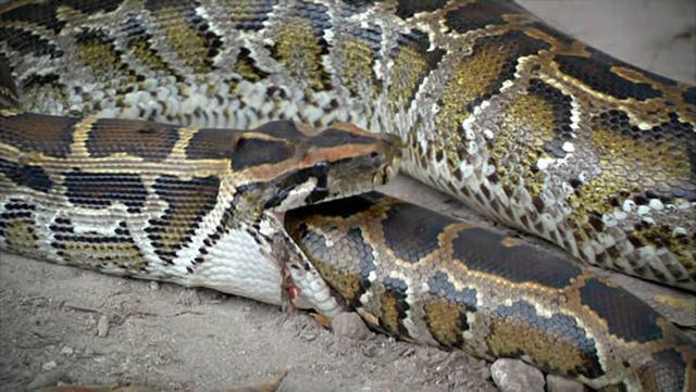 Cobras que se deram mal por terem a boca maior do que o estômago  - Imagem 3